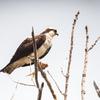 Osprey_nest_2019_17-apr-2019_wrw_8659