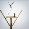 Osprey_nest_2019_14-apr-2019_wrw_8601
