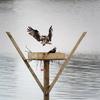 Osprey_nest_2019_15-apr-2019_wrw_8617