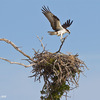 _mg_0813-placing-the-stick-on-the-nest