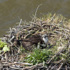 Osprey_chick_bridge_sw_5-8-19_jbjl5892