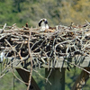 Osprey_incubating_apr_2019