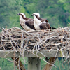 Osprey_family_may_2019