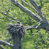 Incubating_female_tree_nest_ql
