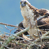 Queen's__lake_marina__osprey-watch