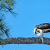 Male_osprey_burwell's_with_fish_edits