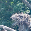 Female_on_nest_7155