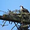 Osprey_female_on_nest_4-5-19