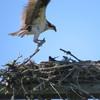 Osprey_nest_exchange_5-6-19_(1)