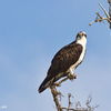 _mg_2254-male-osprey-perched-in-tree-near-nest