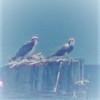 Osprey_watch_avatar