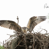 7567_in_nest_before_fledge_06292019