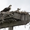 Ospreys_on_nest