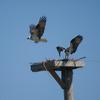 In0425.osprey_02