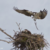 _mg_2370-female-returning-to-nest-with-a-stick