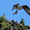 Osprey_in_flight_with_fish