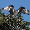 Osprey_wings_high_at_nest