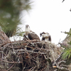 7147_7-13-19_two_young_ospreys_pd_nest_4x4_180ppi