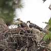 7147_7-13-19b_two_young_ospreys_pd_nest_5x4_180ppi