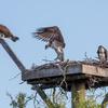 Op_osprey_fledges-2186