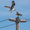 Op_osprey_fledges-2406