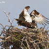 _mg_2397-ospreys-mating---03-02-2012---clam-pass