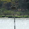Osprey_river