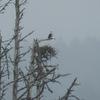 Osprey_nest_lake_cleone_ca