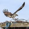0320_osprey_fishtail-8382