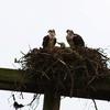 Hrospreys