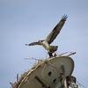 Osprey_landing_on_nest