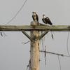 Nesting_pair2