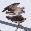 Osprey_mating