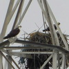 Mates_on_tower_nest_6847
