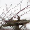 Marsh_nest
