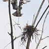 Osprey_nest-building