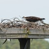 Osprey_little_neck_005