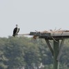 Osprey_little_neck_018