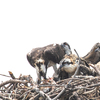 6983_storey-3_nestlings_05192020_(1_of_1)