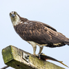 Rainy_day_osprey-8989