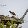 Rainy_day_osprey-9195