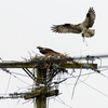 Rainy_day_osprey-9090