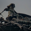 Ospreychicks