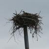 Brainard_nest