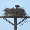 Nest1_chick061420