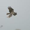 May30osprey1
