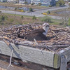 Screenshot_2020-04-15_osprey_webcam_cape_henlopen_state_park__lewes__delaware(3)