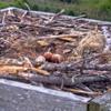 Screenshot_2020-05-17_osprey_webcam_cape_henlopen_state_park__lewes__delaware