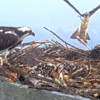 Screenshot_2020-06-21_osprey_webcam