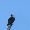Warren_ave_osprey